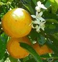 1 lb. Valencia Oranges