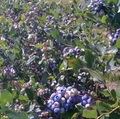 Babb Blueberry Farm
